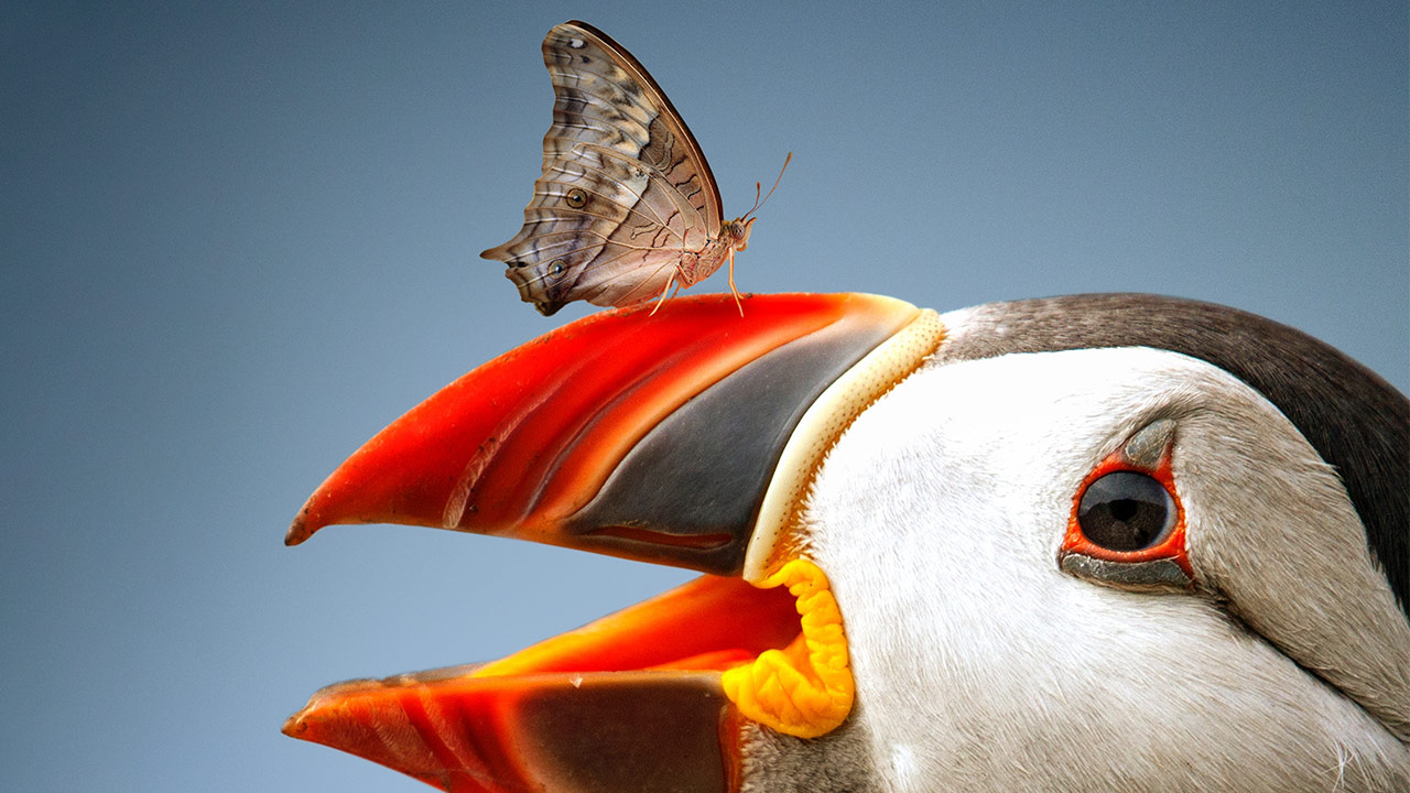The Atlantic Puffin & Butterfly – Photoshop Tutorial